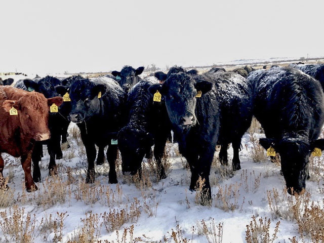 While cattle can handle cold, dry weather, it becomes a bigger challenge if a storm has freezing drizzle first, then heavy snow and wind -- like an upcoming storm is threatening to some herds. (DTN photo by ShayLe Stewart)