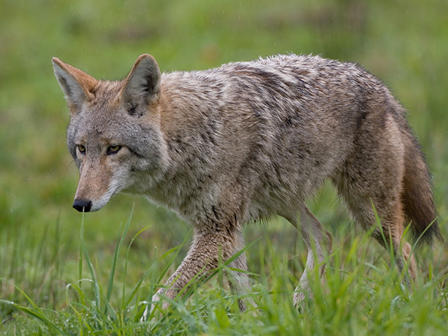 A 2015 National Agricultural Statistics Survey reported coyotes accounted for 40.5% of cattle death losses to predation. (Photo by Getty Images/iStockphoto)