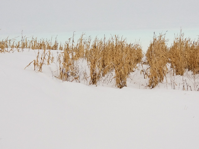 Snow drifted at the edge of a cornfield in eastern South Dakota, too deep for a combine to reach the grain. (DTN photo by Elaine Kub)