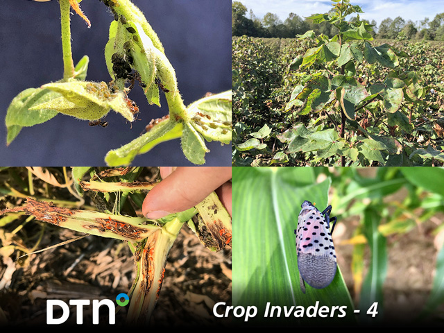 Clockwise from upper left: Cotton leafroll dwarf virus (photo by Tom Allen, MSU); random oversized cotton plants that whip above the canopy are one symptom plants may be infected with CLRDV (photo by Tom Allen, MSU); spotted lanternfly (Pennsylvania Department of Agriculture photo); and gall midge larvae begin as white maggots and turn orange as they mature and devour the inside of soybean stems (photo by Justin McMechan, University of Nebraska).