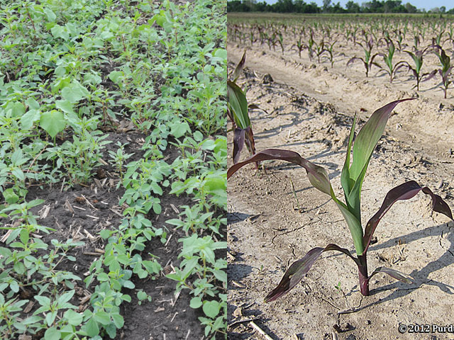 Growers with fallow fields in 2019 should prepare for large weed seedbanks this spring, like this soybean field brimming with velvetleaf and waterhemp, on the left. Cornfields may also see some phosphorus deficiency symptoms, seen in the purpling corn plant on the right. (DTN photo by Pamela Smith and courtesy of Purdue University)
