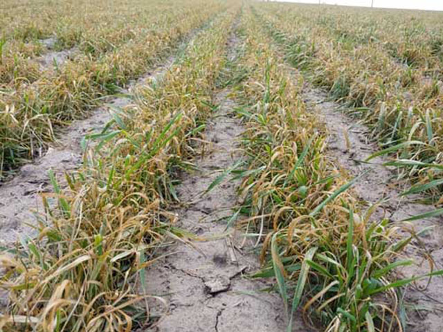 This wheat field in northwest Kansas shows severe injury to the plants' stems and leaves from a period of subfreezing temperatures in mid-April. (Photo courtesy of Erick DeWolf, Kansas State Research and Extension)