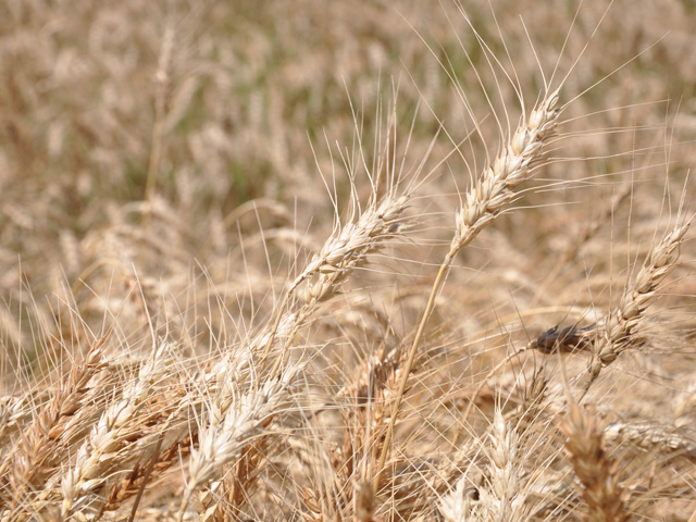 Wheat quality is proving better than expected after a challenging production season in the Southern Plains. (DTN file photo by Katie Dehlinger)
