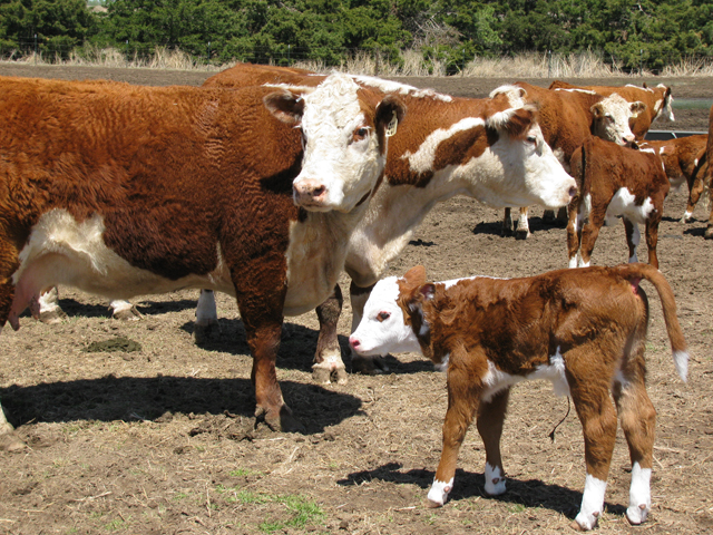 Even during the busy calving season, think about strategies of what to do to make your cow-calf operation more profitable, including when is the best calving time for your herd. (DTN file photo)