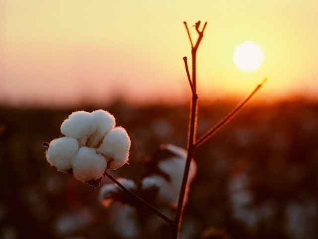 Cotton industry groups, ag bankers and others have been lobbying aggressively since last fall for USDA to declare cottonseed an oilseed, which would make cottonseed eligible for farm subsidies. (DTN/The Progressive Farmer file photo)