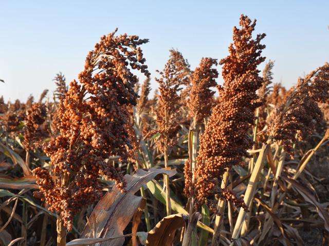Sorghum oil generated at ethanol plants may soon be an approved biofuels feedstock for the Renewable Fuel Standard. (DTN file photo)