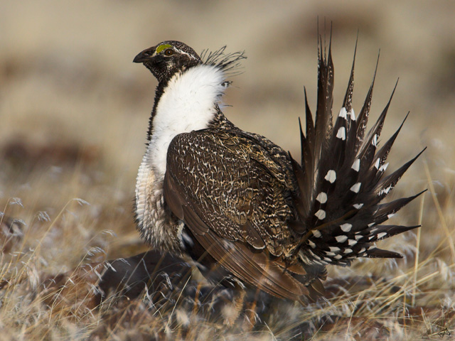 The sage grouse has been the focuse of several efforts to keep it off the Endangered Species List.