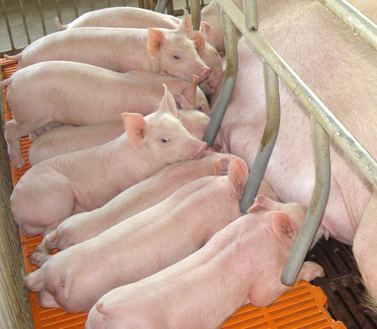 There are fewer sows, and therefore fewer piglets, available to build up stocks again after African swine fever led to declining numbers in China. (DTN photo by Lin Tan)