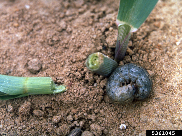 A black cutworm curls up near the scene of the crime -- a corn plant cut off at the soil level. Scout late-planted cornfields carefully for this type of stand loss. (Photo courtesy of Frank Peairs, Colorado State University)