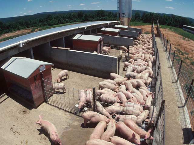 A hog producer conducting a series of tests involving new feed supplements to improve pig weight gain and health is just one example of a farming activity that might qualify for a research and development tax credit under Section 41 of the tax code. (DTN file photo)