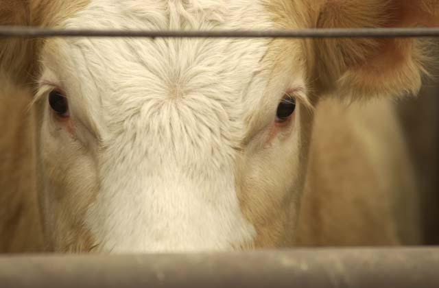 "A federal court in Kansas issued a permanent injunction against the state's so-called ""ag-gag"" law. (DTN file photo)"