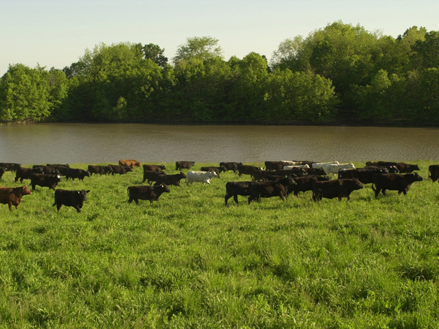 The biggest concern for cattlemen who had cattle survive flooding is leptospirosis and clostridial diseases, according to Corrie Bowen, Texas A&M AgriLife Extension Service agent for Wharton County, Texas. (DTN/The Progressive Farmer file photo)