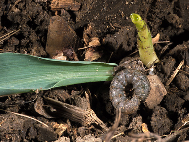 Black cutworms are among the early season insect pests that threaten corn stands at this time of year. (Photo courtesy John Obermeyer, Purdue University.)