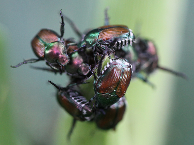 Japanese beetle infestations -- and their damage -- often look worse than they truly are in corn and soybean fields, entomologists caution. (DTN photo by Pamela Smith)