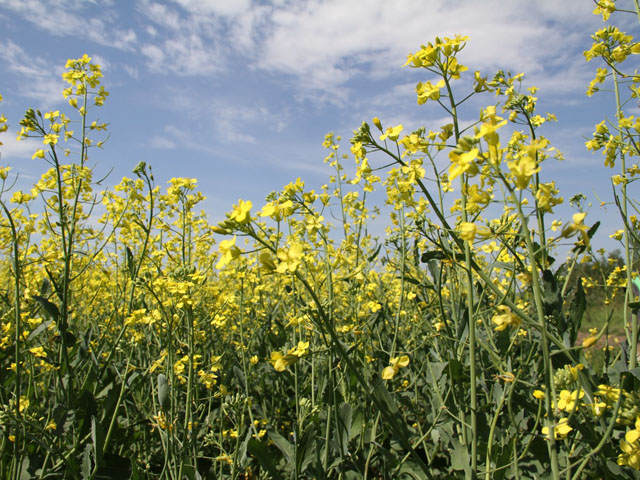 Canada's canola industry has worked hard to present the merits of healthy oil from its crop. (DTN photo by Elaine Shein)