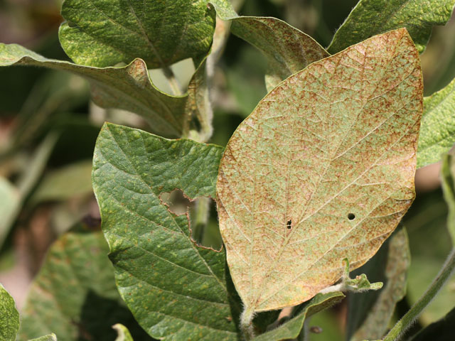 Spider mites thrive in hot and dry conditions, such as this soybean plant in Illinois during the 2012 drought. (DTN photo by Pamela Smith)