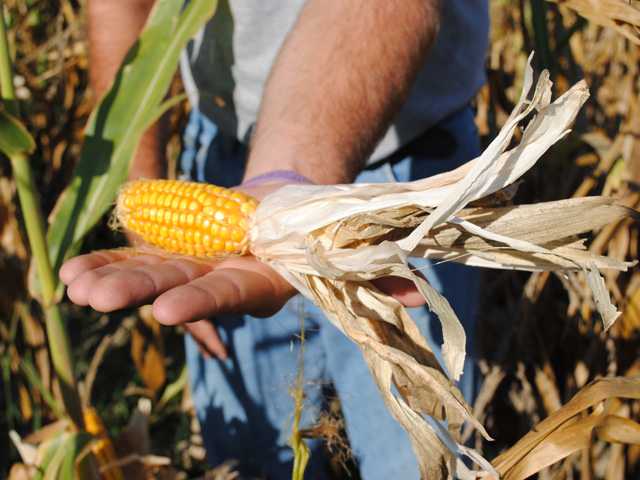 Buying the highest level of corn coverage in 2016 still means a typical Illinois farmer will be absorbing at least $166/acre loss in the event of a yield or crop disaster. (DTN photo by Marcia Zarley Taylor)