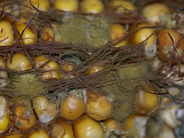 The tell-tale army-green mold of Aspergillus fungus is a dreaded sight for corn farmers, because some strains produce a dangerous mycotoxin called aflatoxin. (Photo courtesy of Alison Robertson, Iowa State University)