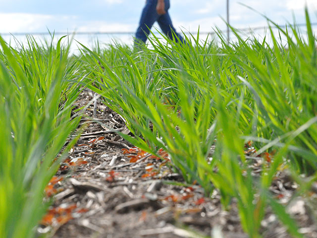 Farmers who could not plant by the insurance date in 2019 were motivated to plant cover crops because the Market Facilitation Program paid for cover crops. (DTN file photo)
