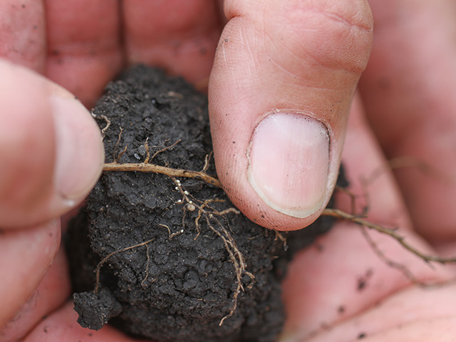 BASF hopes to commercialize a Bt soybean trait targeting the soybean cyst nematode, shown above on soybean roots, sometime in the latter half of the decade. (DTN photo by Pamela Smith).