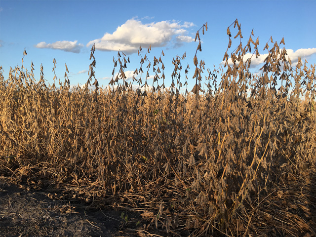A chilly May, followed by a warm June, produced some shorter-than-normal soybeans this summer in parts of the Corn Belt, such as this central Illinois field. (DTN photo by Pamela Smith)