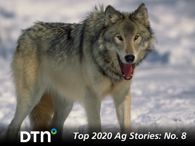 The Trump administration took a number of actions to deregulate agriculture that affected water, pesticides, agriculture labor and the environment. One of the deregulations included delisting gray wolves from the Endangered Species Act. (DTN file photo)