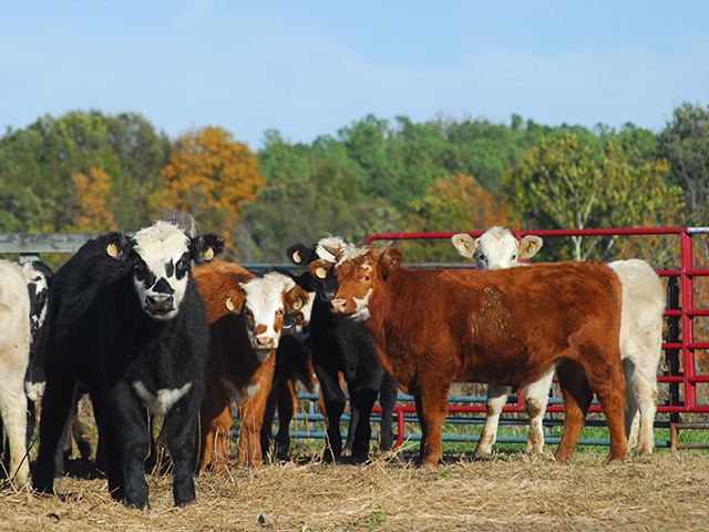 The cattle market is looking to rally as both technical and fundamental indicators are strong. (Photo by Barry Chittenden)