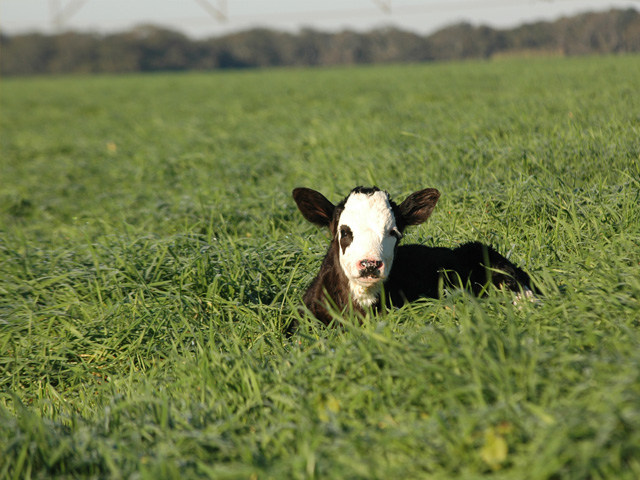 Most calves will get clostridial immunity from their dams until 3 or 4 months of age. (DTN/Progressive Farmer photo by Becky Mills)