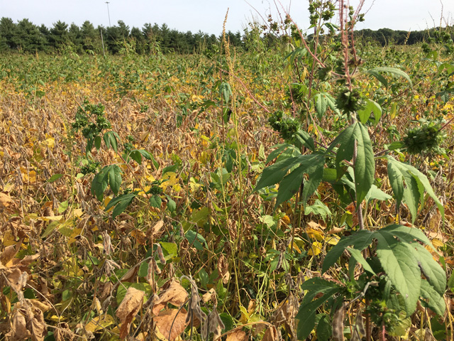 Weed escapes are easy to spot at harvest. The 2020 growing season provided plenty of weed control challenges and a need to plan for next year. (DTN photo by Pamela Smith)